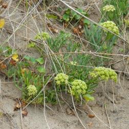 Rock samphire growing on the dunes