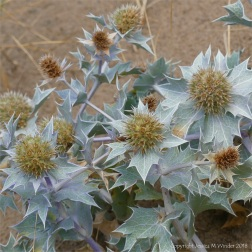 Sea Holly growing in the dunes