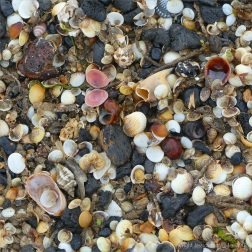 Mostly tiny cockle shells washed up on the strandline en masse