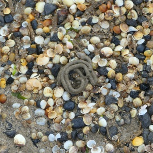 Mostly tiny cockle shells washed up on the strandline en masse