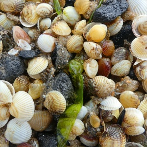 Close-up of mostly tiny cockle shells washed up on the strandline en masse