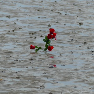 Red roses in the low shore mud