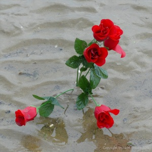 Red roses in the mud