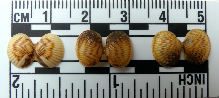 Tiny cockle shells on a scale bar