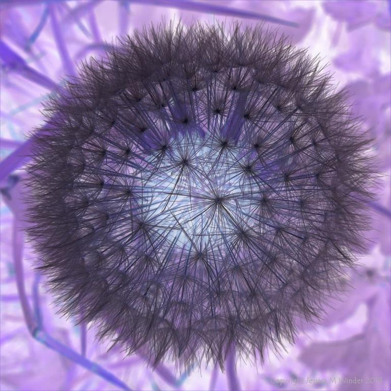Dandelion clock picture