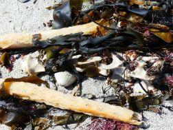 Broken kelp stems and bleached backbone on the seashore