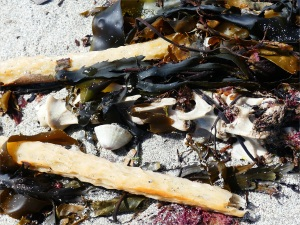 Broken kelp stems and bleached backbone on the seashore