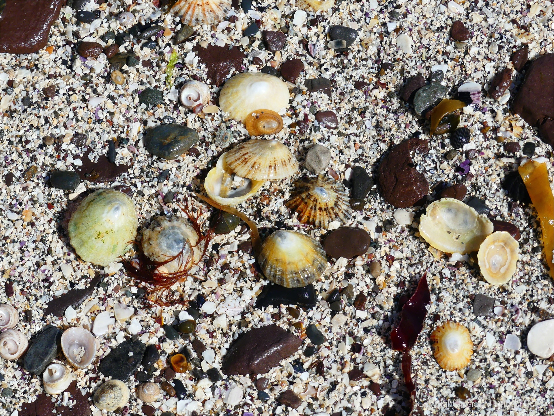 Limpet shells and shell sand at Newark Bay