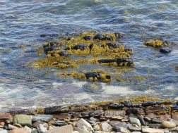 Seaweed-covered rocks in the water at Newark Bay