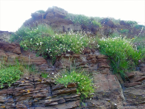 Sea campion flowers on Eday Group cliff rocks at Newark Bay