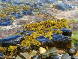 Seaweed and lichen on waterside rocks