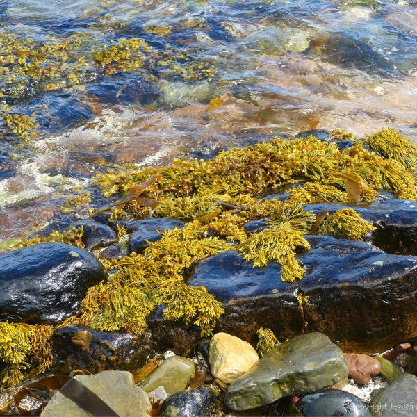 Seaweed and lichen on waterside rocks