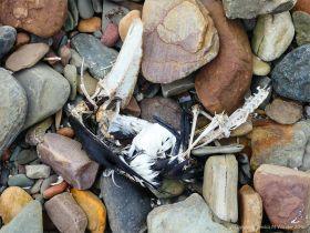 Dead bird on a stony beach