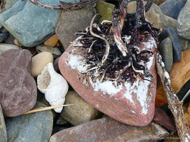 Beach stone with kelp holdfast