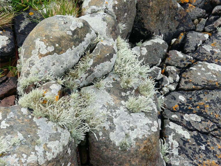 Lichen on seashore rocks