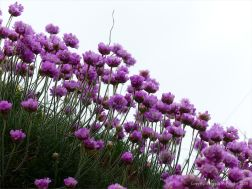 Sea thrift flowers on a cliff top