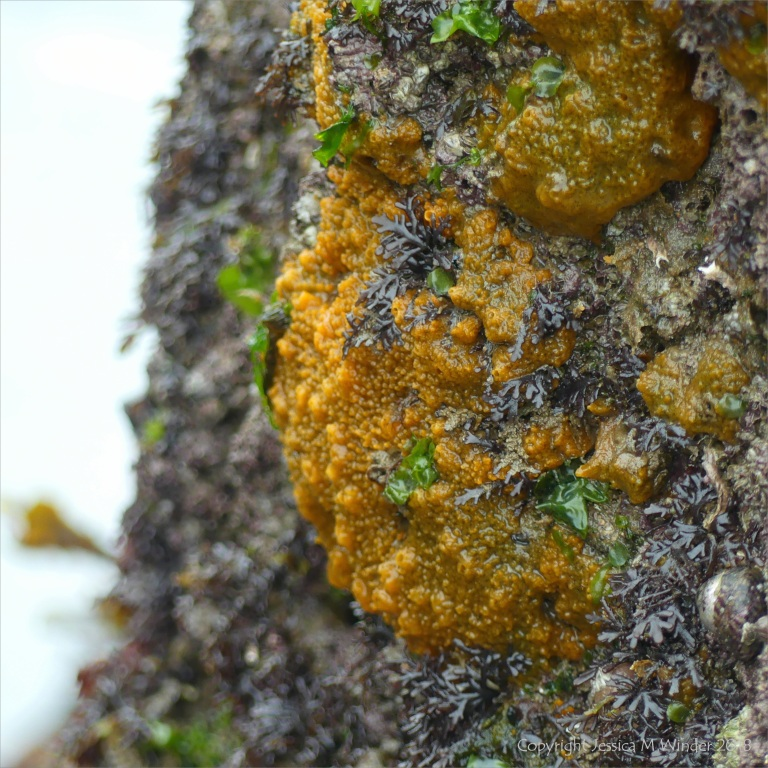 Bright orange living sponge on intertidal rocks