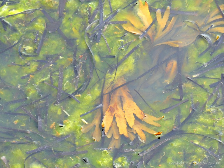 Detached common British seaweeds and eel grass floating in shallow water