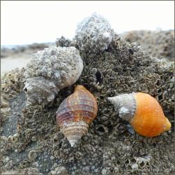 Dog whelks with encrusting barnacles on honeycomb worm reef