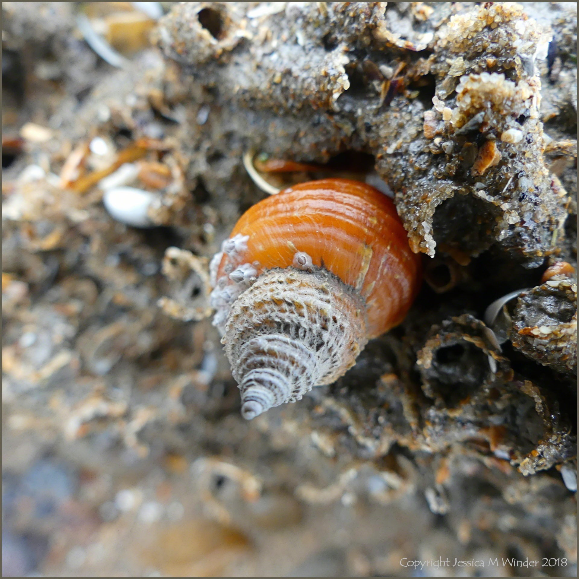 Dog whelk on honeycomb worm reef showing unusual shell features
