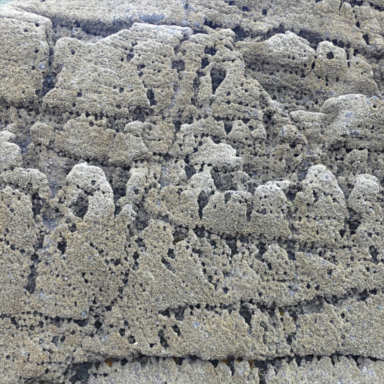 Texture of weathered limestone rock with barnacles on a seashore outcrop