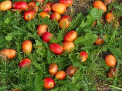 Crab Apples fallen to the ground