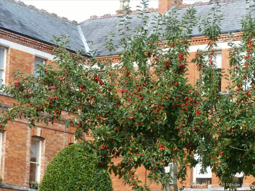 Crab apples ripening on the tree
