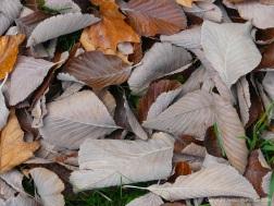 Dull brown fallen autumn leaves