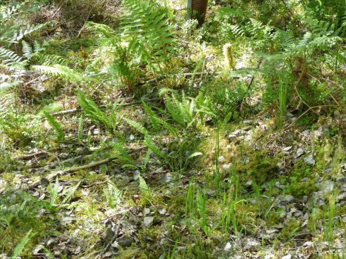 Ferns on the forest floor