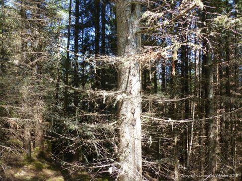 Coniferous forest understorey
