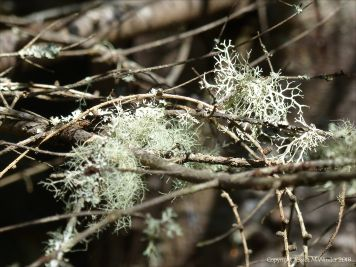 Lichens on branches in conifer forest