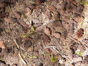Fir cones on the forest floor