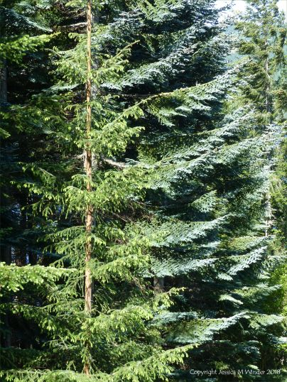 Fir trees in the forest