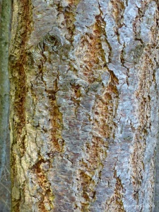 Bark texture and pattern in Farigaig Forest
