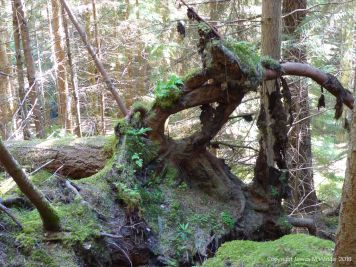 Roots of a fallen tree in Farigaig Forest