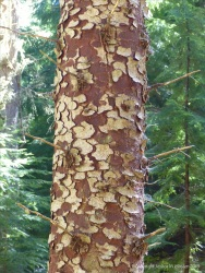 Detail of bark texture and pattern in Farigaig Forest