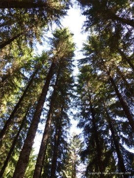 Looking skywards through the tall conifers at Farigaig Forest