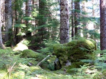 Mossy banks and tall conifers in the Farigaig Forest