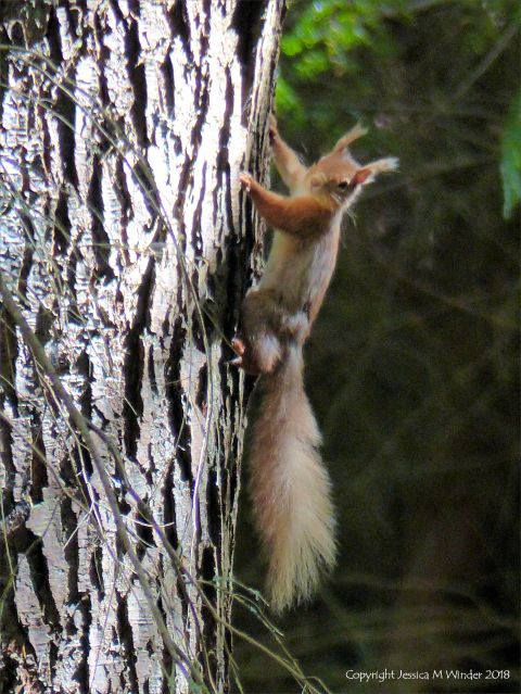 Red squirrel in the Farigaig Forest