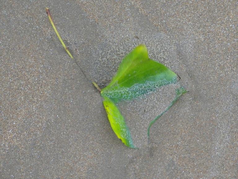 Ivy leaf on a sandy beach