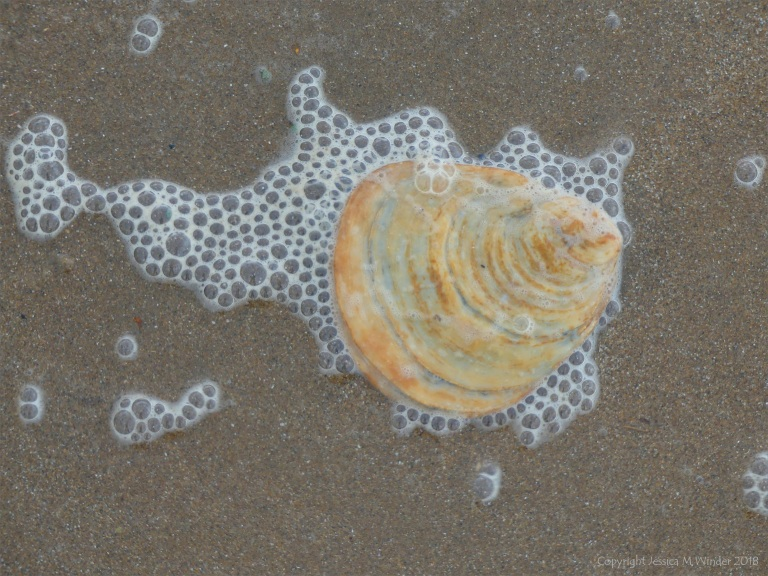 Oyster shell and seafoam bubbles on the beach
