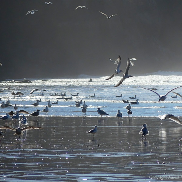 Gulls on the shore and feeding in the surf