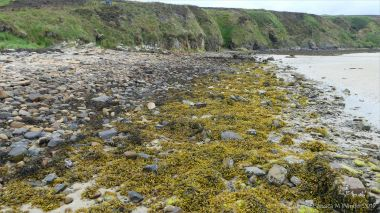 Seaweeds on rocks of the upper shore at Waulkmill Bay in Orkney