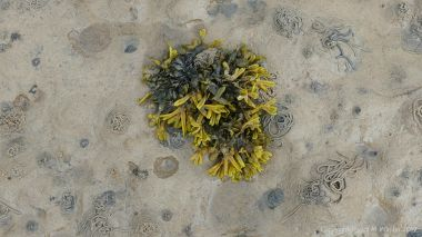 Seaweeds and lugworm casts on the sandy shore at Waulkmill Bay in Orkney