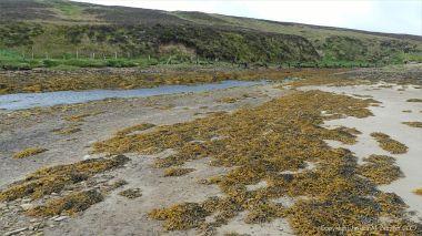 Seaweeds on rocks near Mill Burn on the west side of Waulkmill Bay in Orkney