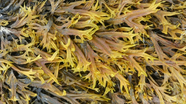 Horned or Estuary Wrack at Waulkmill bay on West Mainland in Orkney