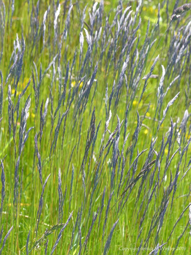 Vibrant green grass with blue-tinged seed heads