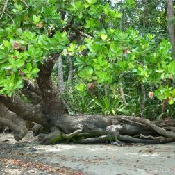 Trees on the beach at Cape Tribulation in Queensland, Australia 3