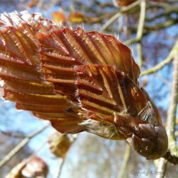 Beech leaf bud opening in spring. Inspiration for the Miura fold.