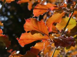 Beech Leaves 1